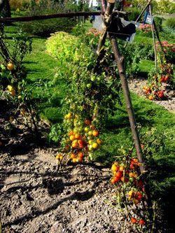 Le paradis de la reine tomate paradis de la tomates 2