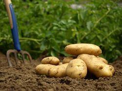 Les pommes de terre © © sp550uz - Fotolia.com