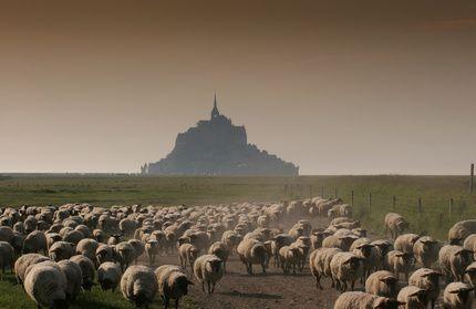 L'agneau de pré-salé du Mont-Saint-Michel enfin AOC © photogolfer - Fotolia.com