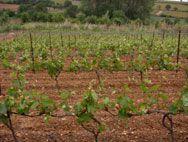 Terroirs de France Vigne du Languedoc 2