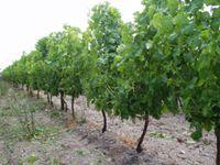 Terroirs de France vigne du Medoc 3