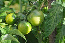 soupe tomates vertes